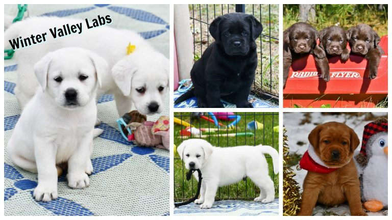 English Lab Puppies About Us Winter Valley Labs