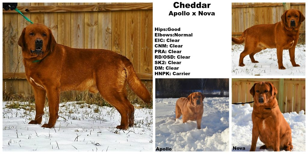 English Fox Red Lab Stud