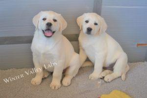 Ava x Bantik puppies
